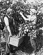 Jaffa orange picking Ayanot Zoltan Kluger 1937 a.jpg