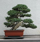 Japanese Needle Juniper, 1966-2007.jpg