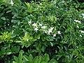 Jasminum fluminense Vell. (AM AK289662-2).jpg