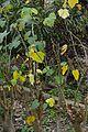 Jatropha curcas - Agri-Horticultural Society of India - Alipore - Kolkata 2013-01-05 2337.JPG