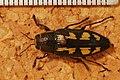 Jewel Beetle (Buprestis novemmaculata) (8230717978).jpg