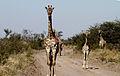 Jirafas en el Parque Nacional Makdikgadi, Botswana.jpg