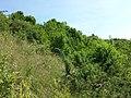 Juniperus communis subsp. communis sl8.jpg