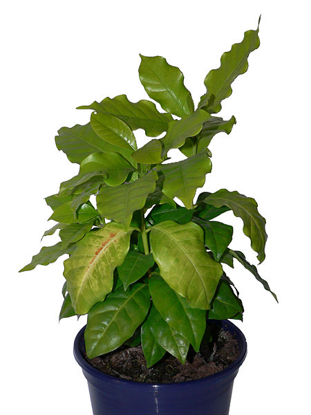 File Kaffee als zimmerpflanze fcm jpg Wikimedia Commons ~ 01004223_Sukkulenten Als Zimmerpflanze