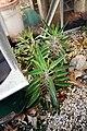 Kalanchoe daigremontiana in greenhouse.JPG