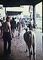 Kalkutta-22-Kuh-1976-gje.jpg
