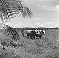 Karbouwen in de Nickeriepolder, Bestanddeelnr 252-5585.jpg
