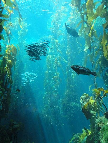 File:Kelp Forest - MBA - DSC06954.JPG