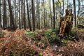 Kiefernwald beim Langen Moor 02.jpg