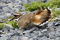 Killdeer - Charadrius vociferus, Blackwater National Wildlife Refuge, Cambridge, Maryland - 6887257512.jpg