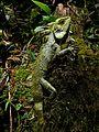 Kinabalu Crested Dragon (Hypsicalotes kinabaluensis) male (6679673951).jpg
