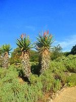 Kirstenbosch National Botanical Garden by ArmAg (30).jpg