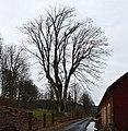 Kněžický klen 02.jpg
