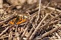 Koeraliblikas - Small Tortoiseshell - Aglais Urticae1.jpg