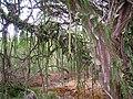 Koko Crater Botanical Garden - IMG 2234.JPG