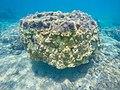 Korallen in Panama (26843008960).jpg