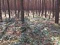 Korina 2013-03-18 Mahonia aquifolium 5.jpg