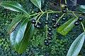 Korina 2014-08-19 Prunus laurocerasus 2.jpg