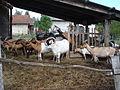 Koze na farmi kod Svetog Ivana Zeline.jpg