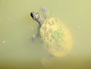 Emydura - Image: Krefft's River Turtle 2