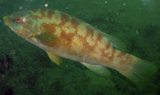 Ballan wrasse species of fish