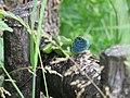 Lacerta viridis, Sićevačka klisura, Niš, Serbia (48).jpg