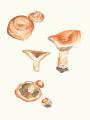 Lactarius deliciosus (il·lustració científica).png