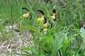 Lady's-Slipper Orchid - Cypripedium calceolus - panoramio (52).jpg