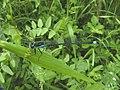 Lago Pudro - Ischnura elegans.jpg