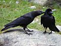 Large-billed Crows (14387320398).jpg