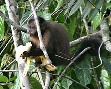 Large-headed Capuchin - Sapajus macrocephalus (young).jpg