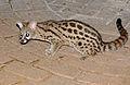 Large-spotted Genet (Genetta tigrina) (17356502041).jpg