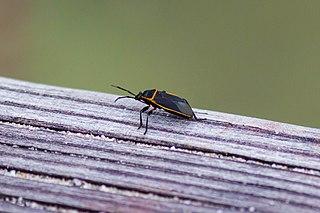 <i>Largus succinctus</i> Species of true bug