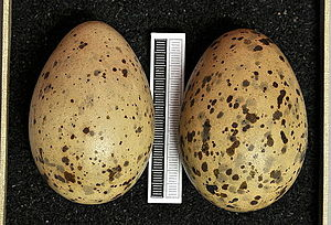 Iceland gull - Eggs, Collection Museum Wiesbaden