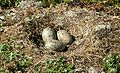 Larus marinus eggs.jpg