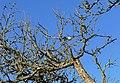 Last apple hanging on the tree.jpg