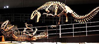 Tyrannosauroidea - Replica skeletons of Yutyrannus huali