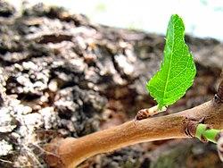 Leaves in iran برگ گلها و گیاهان ایرانی 32.jpg