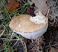 Leccinum species possibly - Flickr - gailhampshire (1).jpg