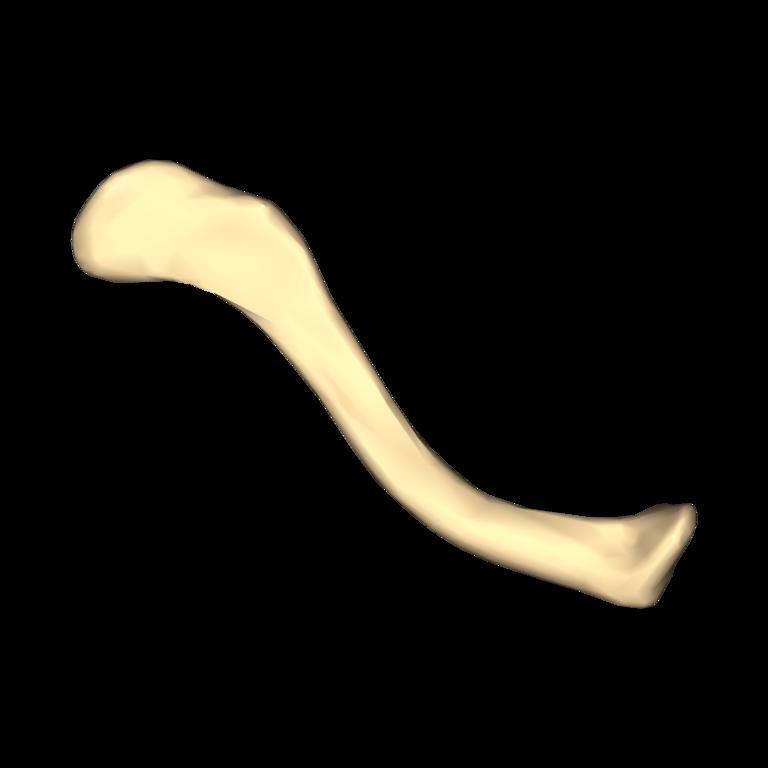 left clavicle - photo #14