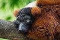 Lemur (35779639854).jpg
