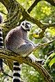 Lemur (39822771550).jpg