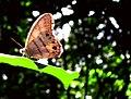 Lepidoptera Ana Cotta 2335524601.jpg