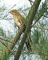 Lesser Coucal (Centropus bengalensis javanensis) Juvenile - Flickr - Lip Kee.jpg