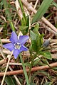 Lesser Periwinkle (Vinca minor) - Kitchener, Ontario.jpg