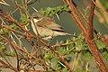 Lesser Whitethroat by Dr. Raju Kasambe DSCN3622 (13).jpg