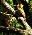Lesser Yellownape woodpecker DSCN0248 1.jpg
