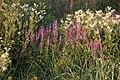 Letnie kwiaty - panoramio.jpg