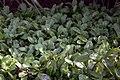 Leucanthemum x superbum Becky 6zz.jpg