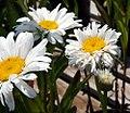 Leucanthemum x superbum Crazy Daisy 5zz.jpg